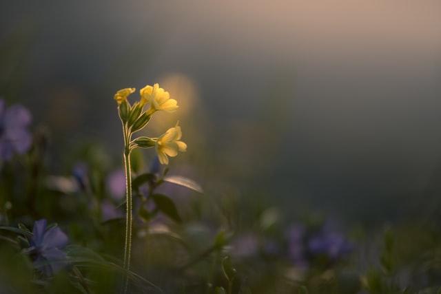 Primulas (Primulas Acaulis)
