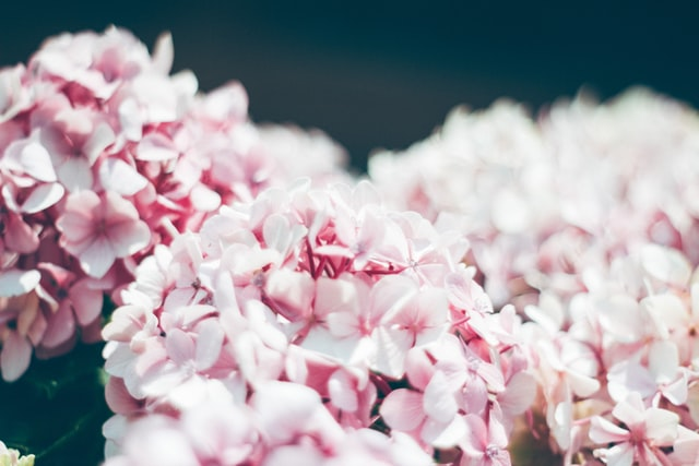 Hydrangeas (Hydrangea)