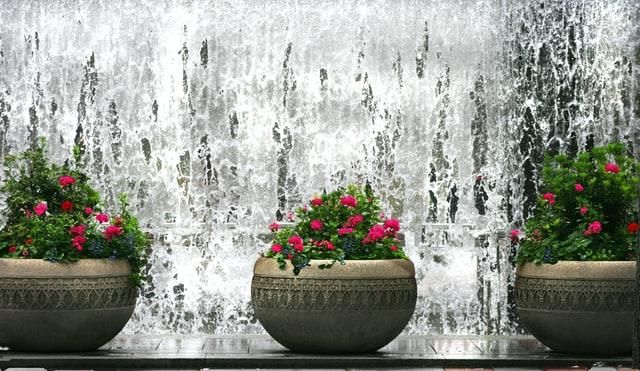 Geraniums (Pelargonium sp)