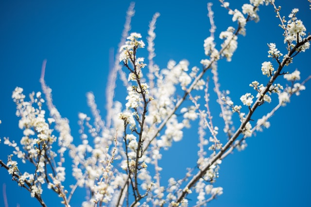 Almond trees (Prunus dulcis)