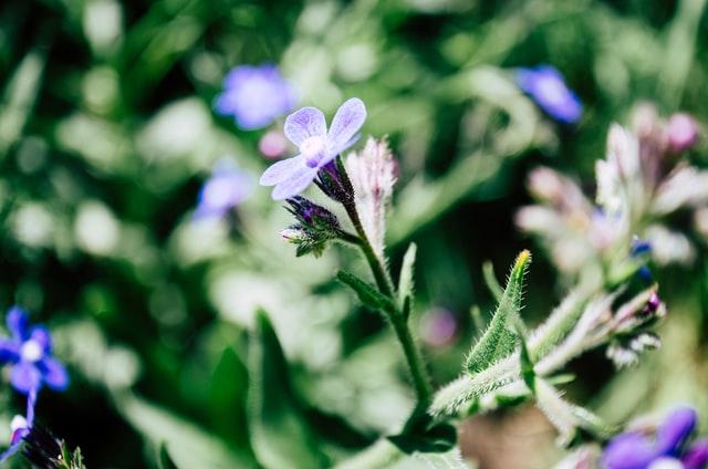 Callas (Zantedeschia aethiopica)