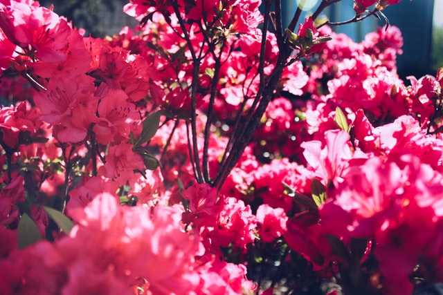 Azaleas (Rhododendron)