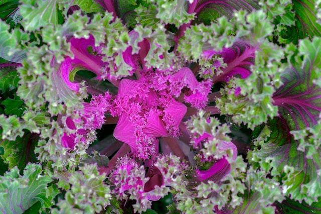 Ornamental cabbages (Brassica Oleracea)