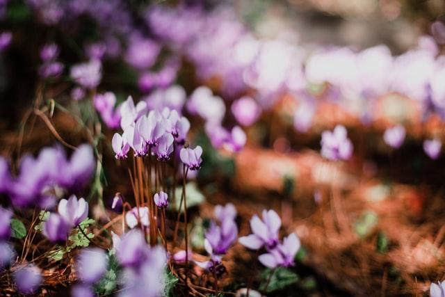 Persian or Alpine violets (Cyclamen persicum)