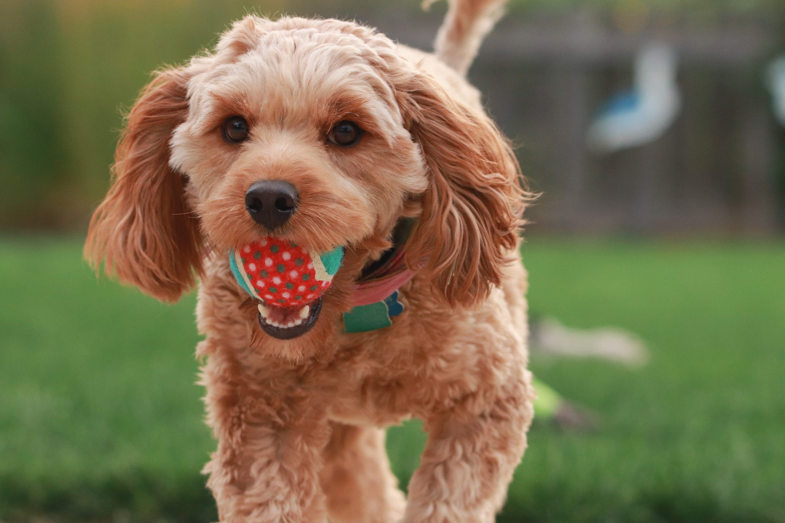 5 Easy Steps to Teach Your Dog to Fetch